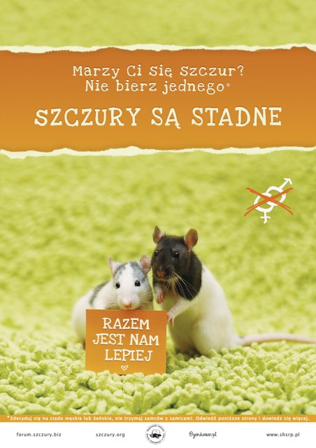 szczury-sa-stadne