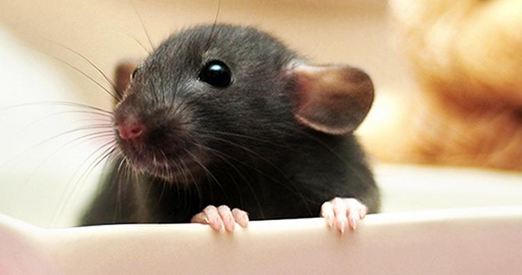 Słodkie Szczurki Na Tłusty Czwartek Ogonkowo Pl