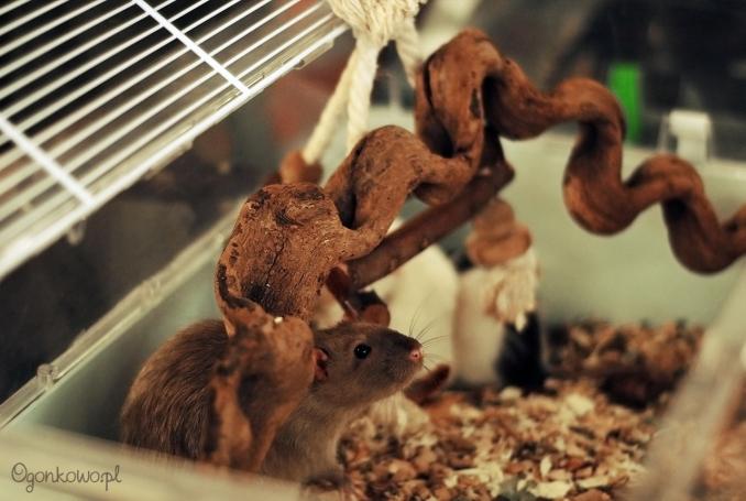 pokaz-szczurow-12