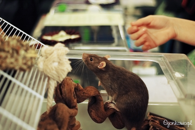 pokaz-szczurow-16