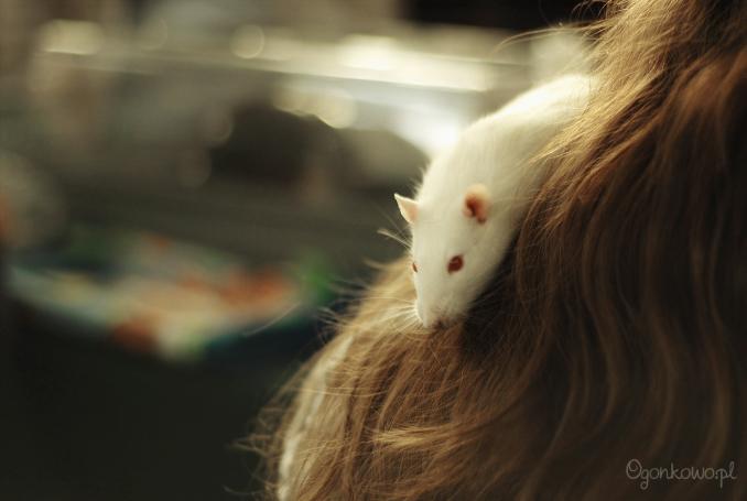 pokaz-szczurow-4