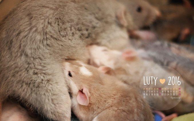 tapeta na luty 2016 małe szczurki