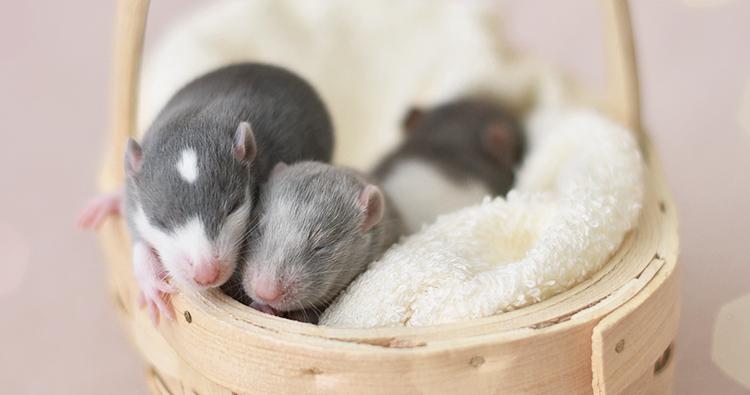 tapeta-na-wrzesien-2016-szczury-ogonkowo-ikona