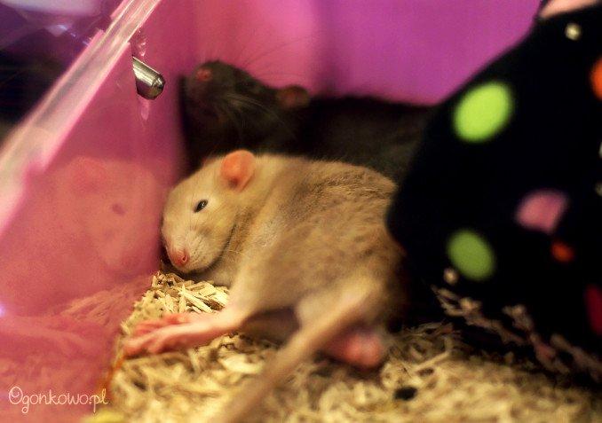 wystawa-odczarowac-szczury-11
