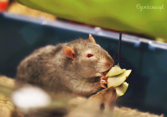 wystawa-odczarowac-szczury-7