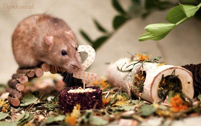 szczurek mikan ma 2 lata