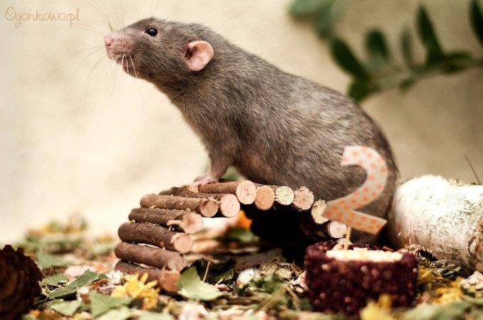 szczurek totoro ma 2 lata