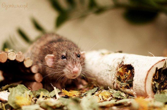 szczurek pringles