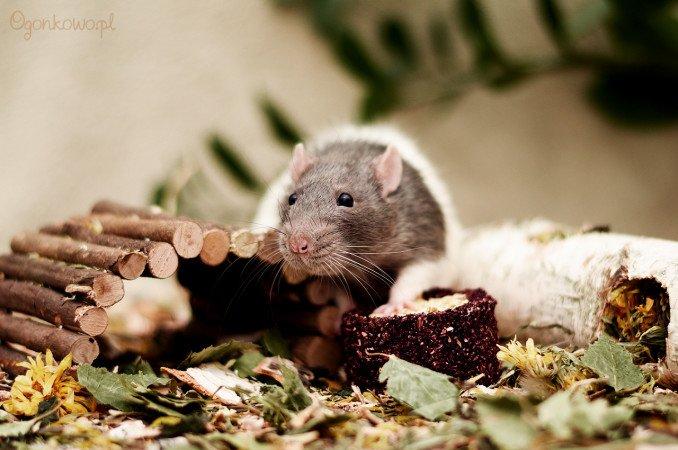 szczurek fiolek
