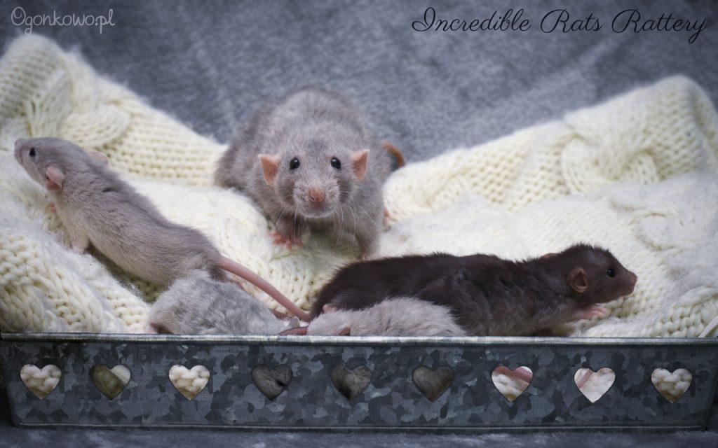 szczurki z hodowli Incredible Rats