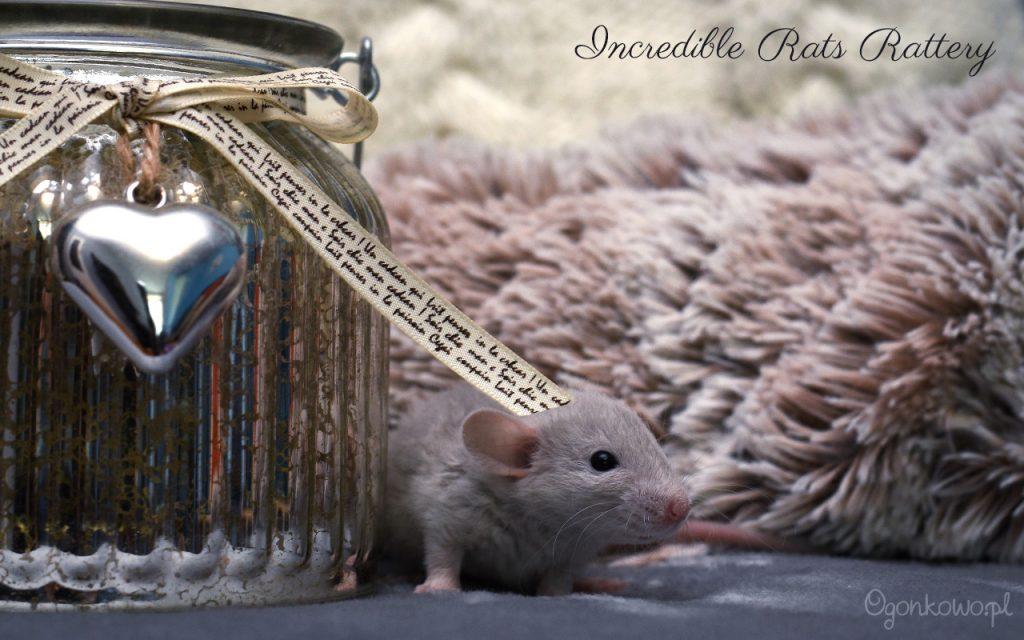 mały szczurek z hodowli Incredible Rats